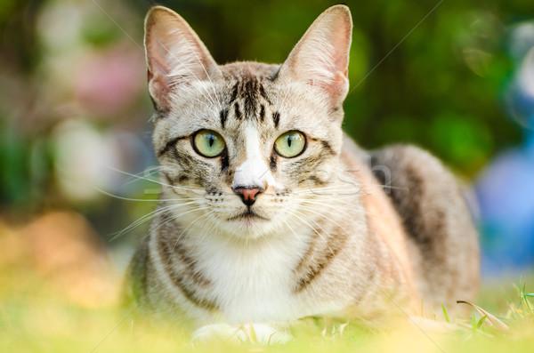 Tabby Cat Stock photo © kttpngart