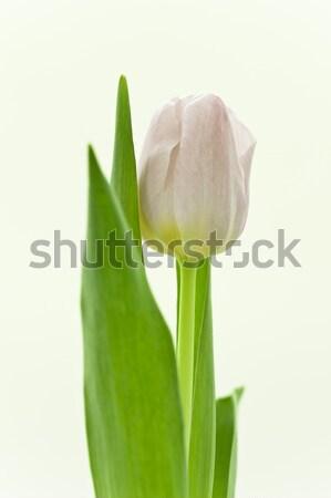 Tulipa branco páscoa flor beleza Foto stock © kubais