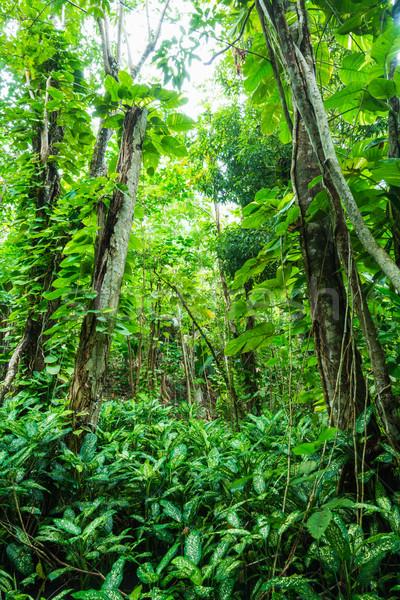 tropical forest Stock photo © kubais