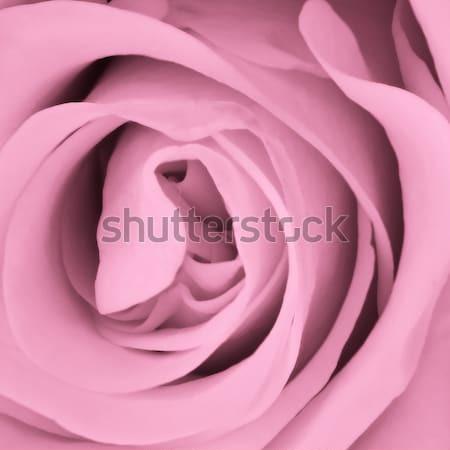 Petali texture rosa natura Foto d'archivio © kubais