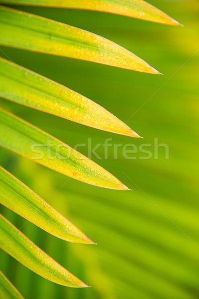 Liści palmowych tekstury świetle liści ogród Zdjęcia stock © kubais