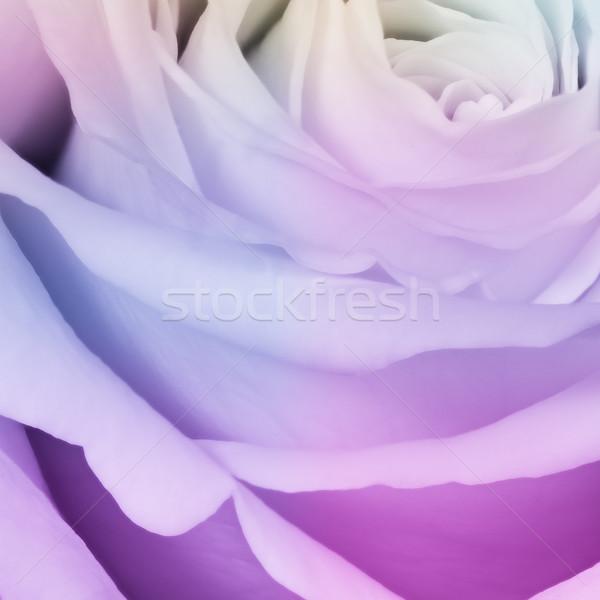 multicolor rose Stock photo © kubais