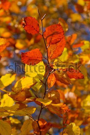 autumn foliage Stock photo © kubais