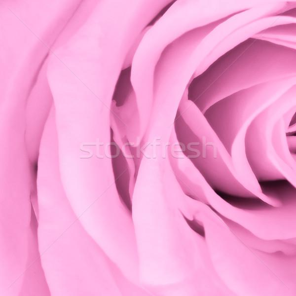 pink rose close up Stock photo © kubais