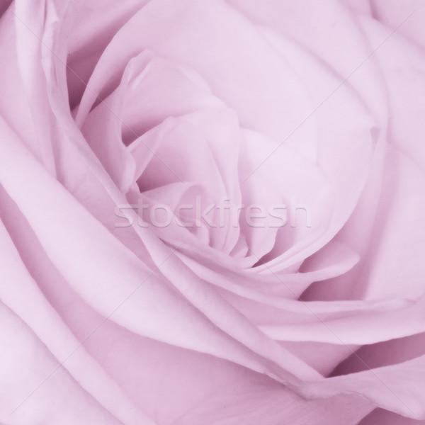 Violett stieg Blume Textur Stock foto © kubais