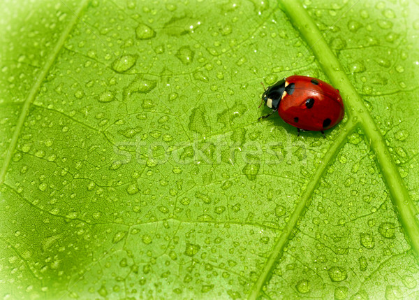 Joaninha folha sessão fresco molhado natureza Foto stock © kuligssen