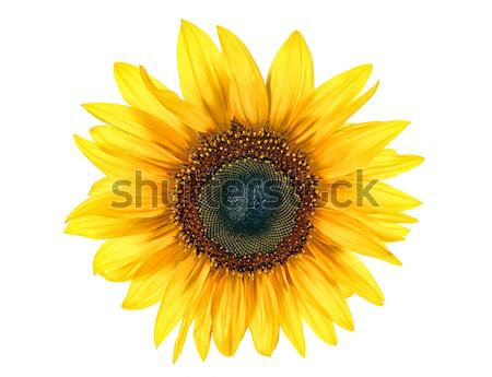 sun flower Stock photo © kuligssen