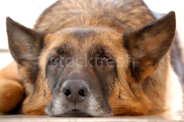 old tired dog, German Shepherd Stock photo © kuligssen