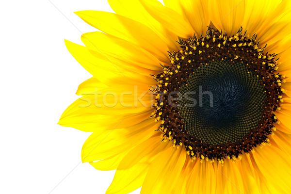 Güneş çiçek beyaz ayçiçeği Stok fotoğraf © kuligssen