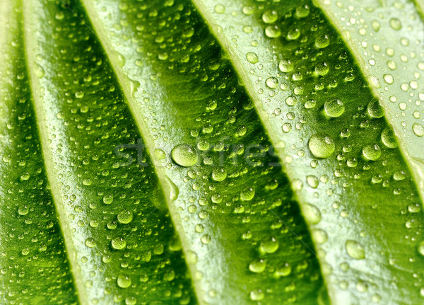 Yaprak damla su yeşil yaprak güzellik hayat Stok fotoğraf © kuligssen