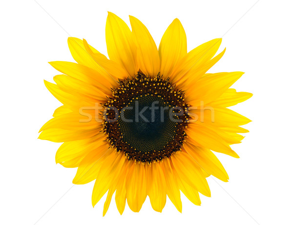 sun floweron white Stock photo © kuligssen