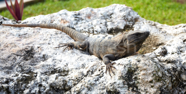 Lizard having a sunbath. Stock photo © Kurhan