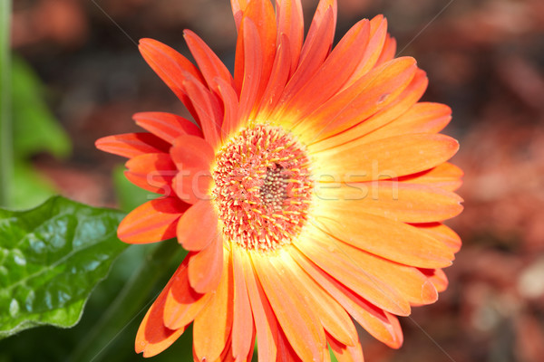 Gerbera flower. Stock photo © Kurhan