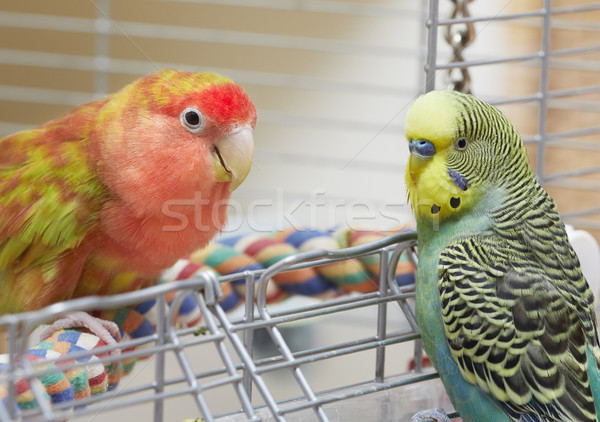 Budgie and lovebird parrots. Stock photo © Kurhan