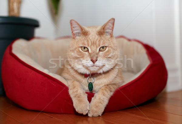 Ginger cat. Stock photo © Kurhan