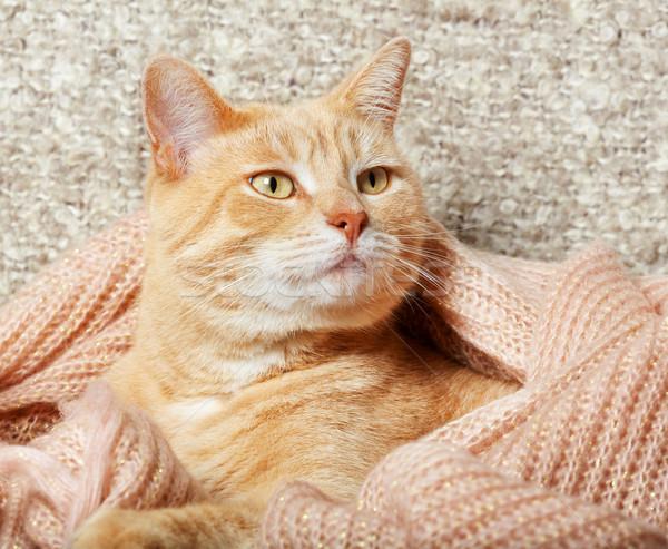 Jengibre gato doméstico retrato animales casa cara Foto stock © Kurhan