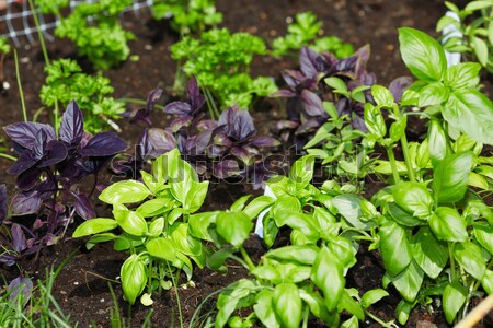 Parsley and basil  in the garden. Stock photo © Kurhan