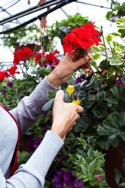 Florist woman cutting flowers. Stock photo © Kurhan