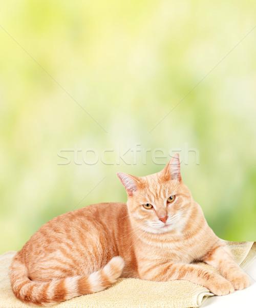 Сток-фото: имбирь · кошки · зеленый · ветеринарный · клинике · фон