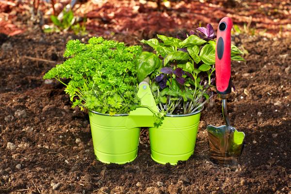 Perejil jardín albahaca primavera alimentos Foto stock © Kurhan