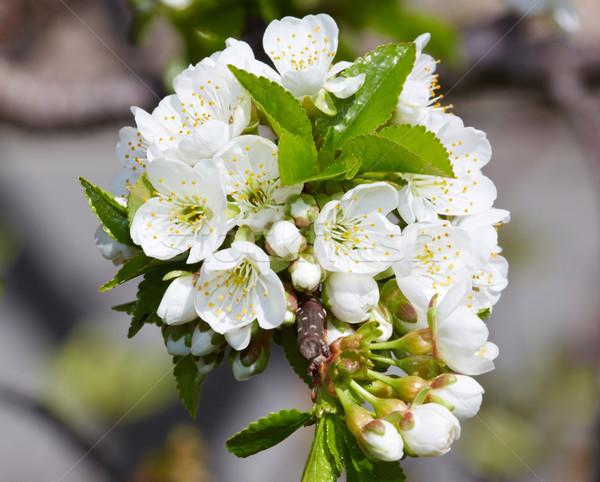 Cherry blossom. Stock photo © Kurhan