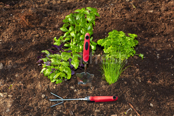 Parsley and  gardening tools in the garden. Stock photo © Kurhan