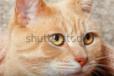 ストックフォト: 赤 · 猫 · クローズアップ · 生姜 · 国内の