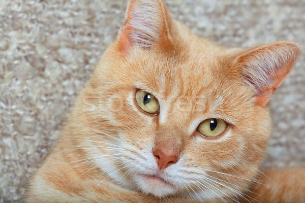 Ginger domestic cat Stock photo © Kurhan