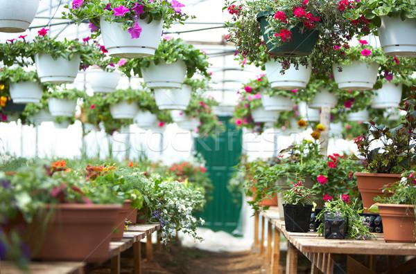 Szklarnia wiele piękna kwiaty ogrodnictwo kwiat Zdjęcia stock © Kurhan