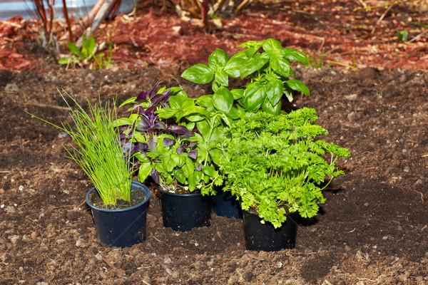 Peterselie basilicum tuin vers organisch blad Stockfoto © Kurhan