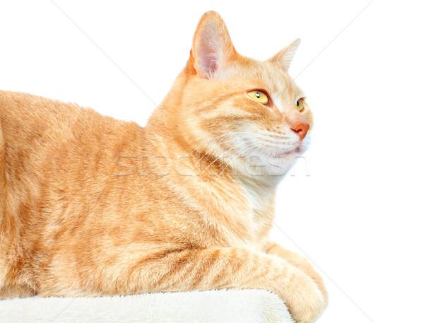 Red cat. Stock photo © Kurhan