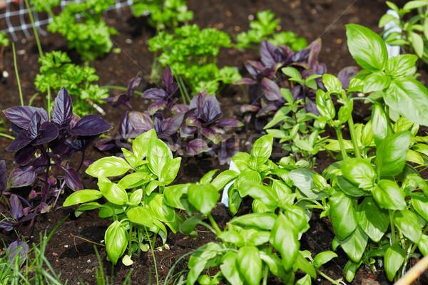 Pietruszka bazylia ogród włoski wiosną lata Zdjęcia stock © Kurhan