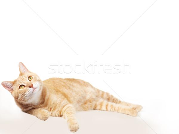 Pet cat. Stock photo © Kurhan