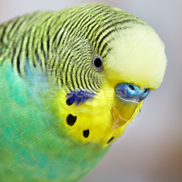 Budgie. Stock photo © Kurhan