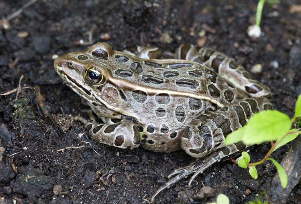 Frog western toad. Stock photo © Kurhan