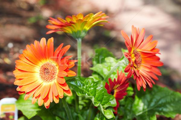 Gerbera flower. Stock photo © Kurhan