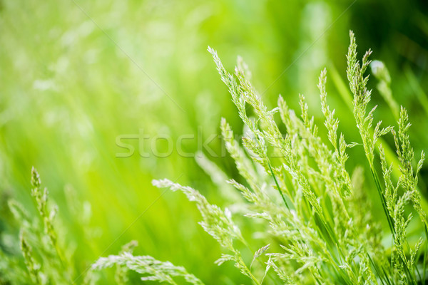 Green grass abstract background, grass with sun glare Stock photo © kurkalukas