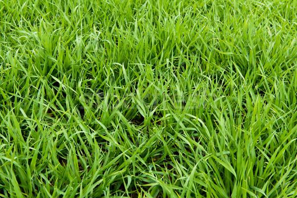 Natural green grass texture from a field, green grass background Stock photo © kurkalukas
