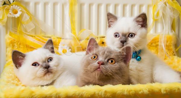 White and Fawn British Shorthair Kittens Stock photo © Kuzeytac