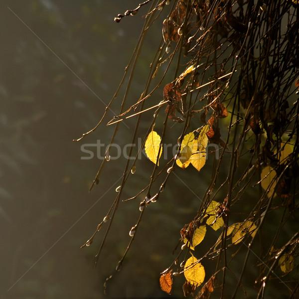 Geel bladeren mistig najaar dag hout Stockfoto © Kuzeytac