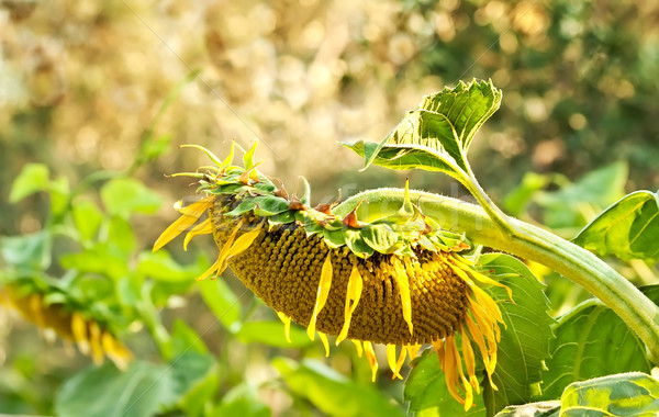 A Wilted Beautiful Organic Sunflower Stock photo © Kuzeytac