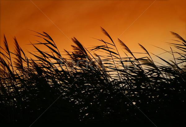 Stock photo: Whispering Reeds At Sunset Wind