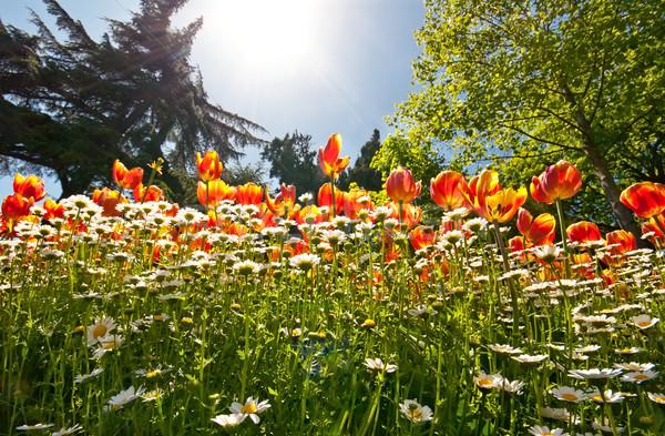 Veld tulpen tuin tulp madeliefjes bomen Stockfoto © Kuzeytac