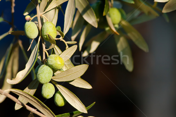 Young Olives On A Branch Stock photo © Kuzeytac