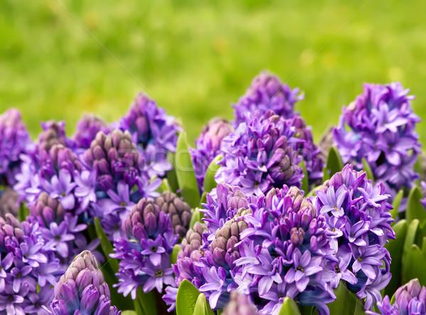 Purple Hyacinth In A Garden Stock photo © Kuzeytac
