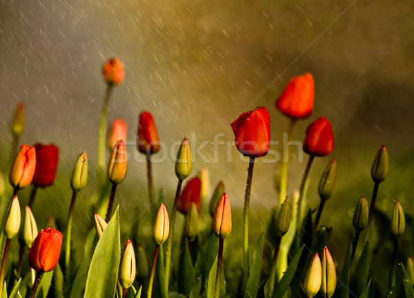 Red Tulips Under Spring Rain Stock photo © Kuzeytac