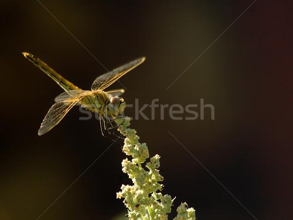 Sunshine Dragonfly дракон лет цветок Сток-фото © Kuzeytac