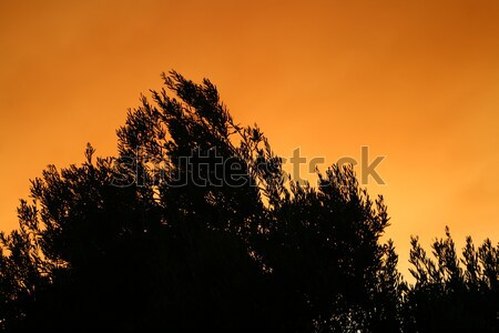 Olijfboom silhouet zonsondergang gekleurd rook boom Stockfoto © Kuzeytac