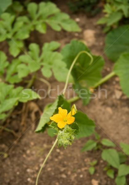 Meloen bloem jonge Geel natuur vruchten Stockfoto © Kuzeytac