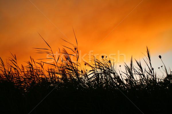 Reeds At Smokey Sunset Stock photo © Kuzeytac